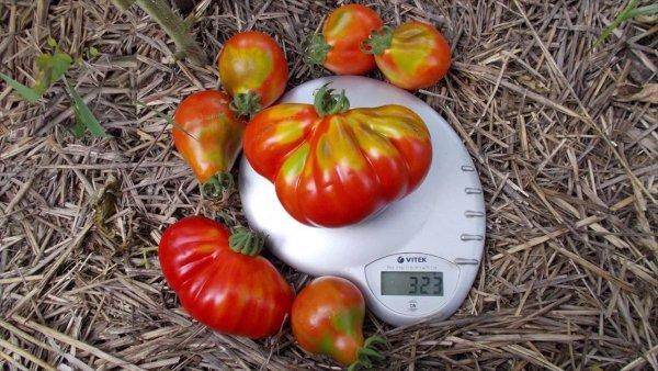 Не особо популярный, но удачный томат — Японский трюфель золотой: описание сорта и характеристики