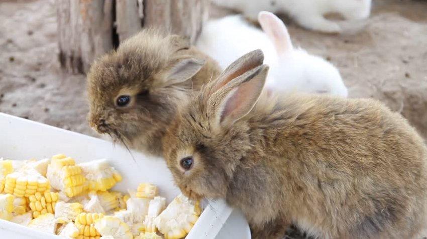 Кролики едят кукурузу