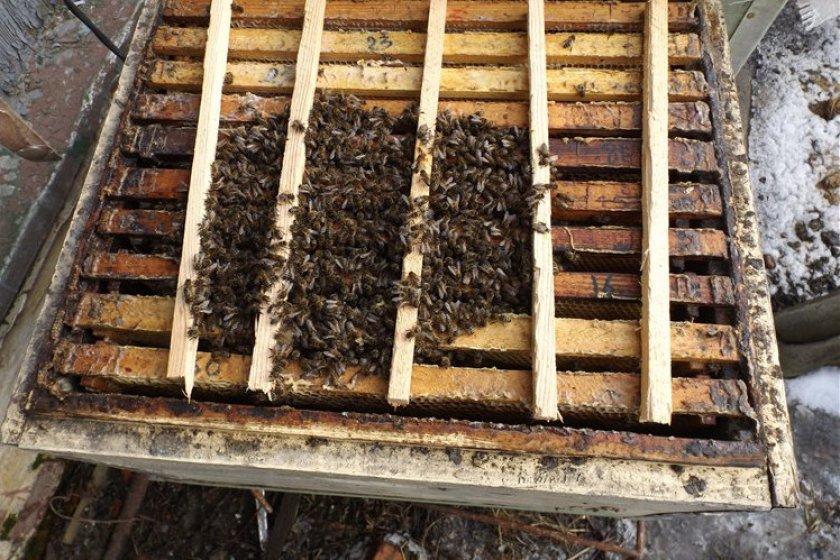 Пчелиный клуб
