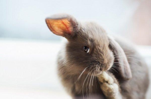 Как декоративного кролика приучить к лотку в квартире?