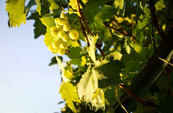 Сухие ветки винограда