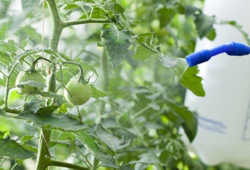 Профилактическая обработка томатов
