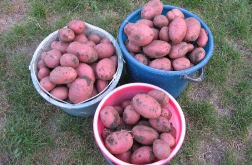 Урожай картофеля Алладин