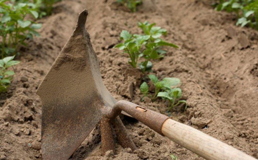 Прополка и окучивание картофеля