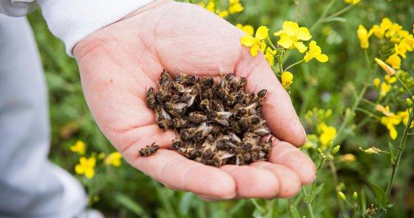 Для чего пьют подмор пчелиный для потенции
