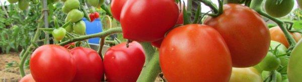 Томат Снежно - белый: отзывы и фото помидоров, описание и характеристика сорта