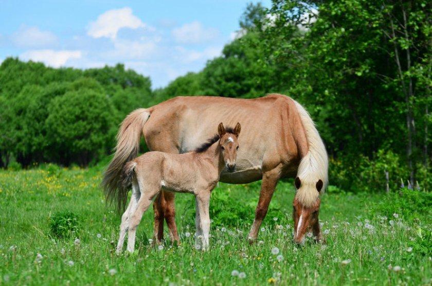 Башкирская порода лошадей