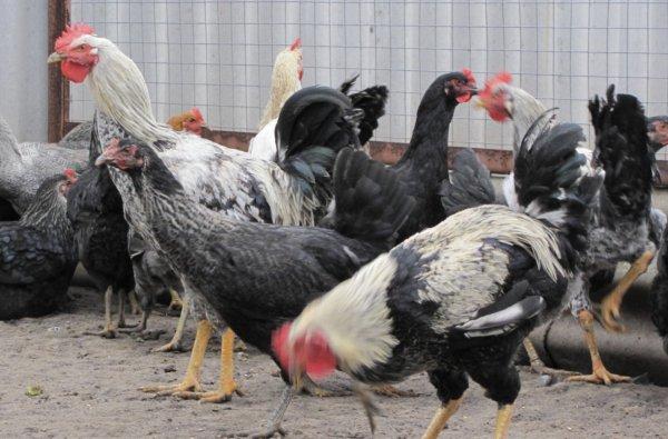 Юрловская голосистая порода кур фермер часть 2