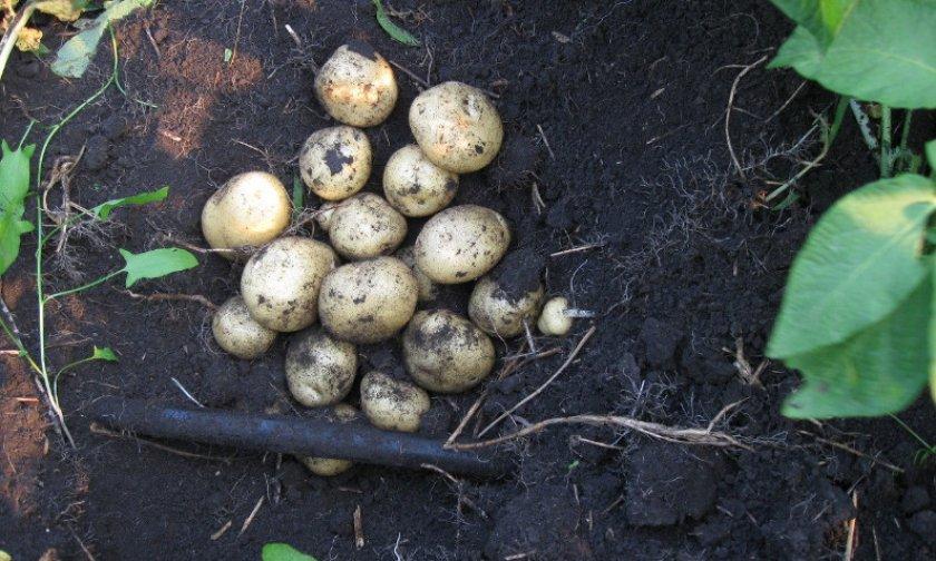 Картофель Санте