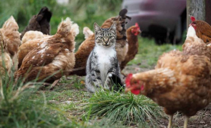 Кошка и курица