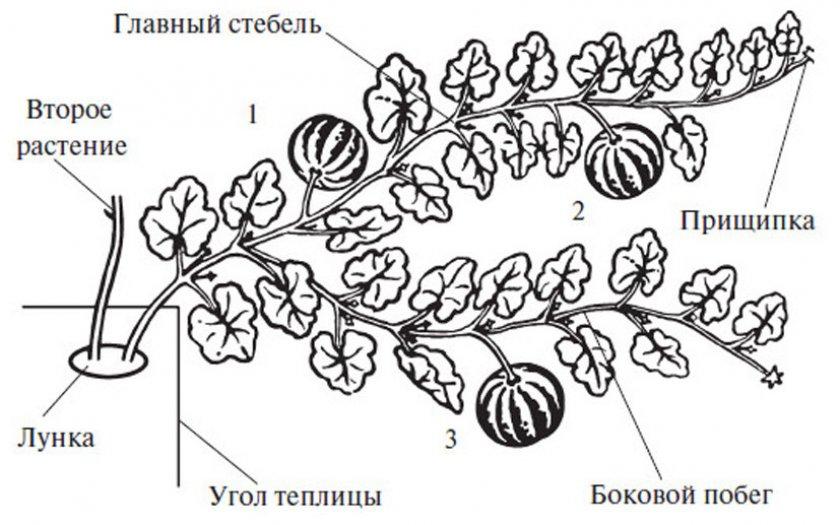 Формирование арбузов