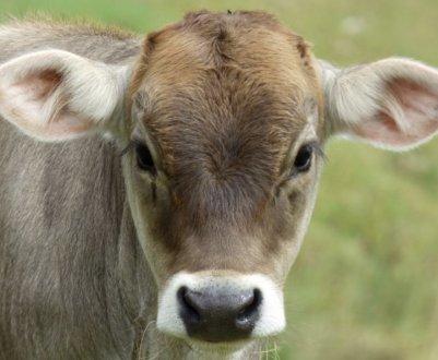 Корова костромской породы: описание, уход и кормление