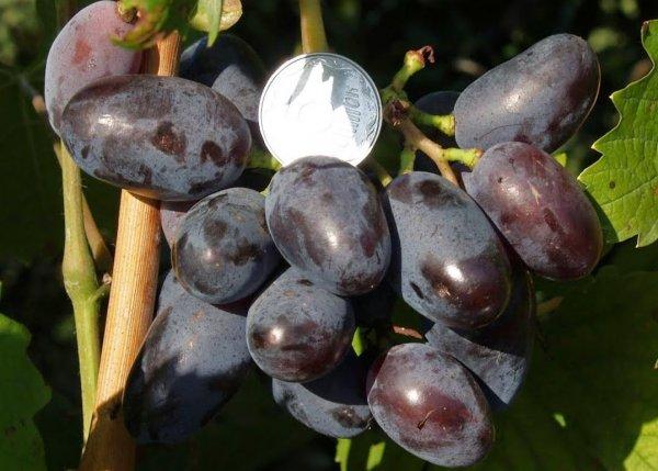 Справочник виноградаря (Пелях М.А.)