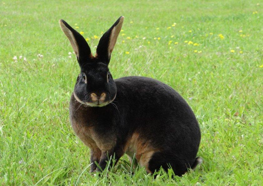 Кролик породы рекс