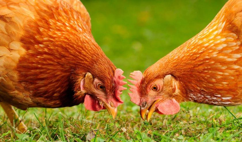 Комбикорм для кур