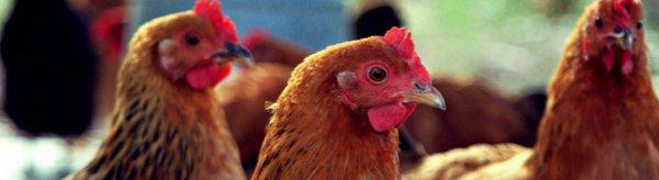 Ньюкаслская болезнь птиц лечение