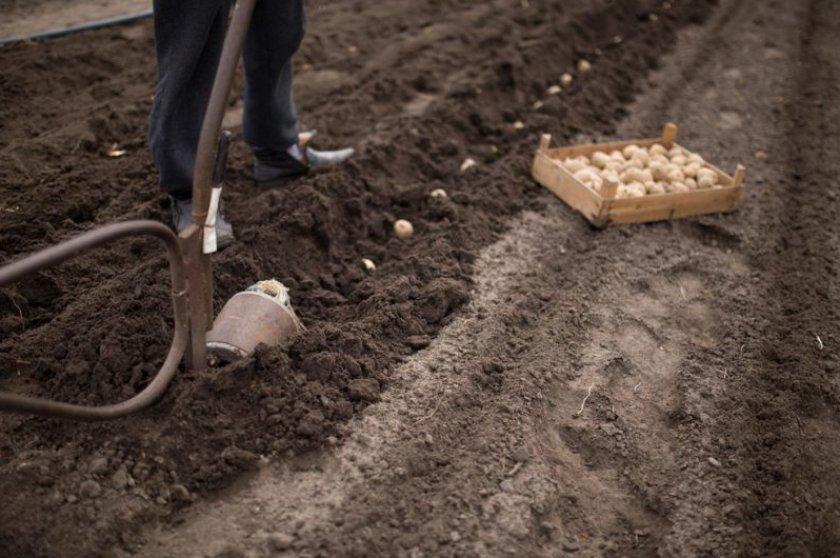 Траншейная высадка картофеля