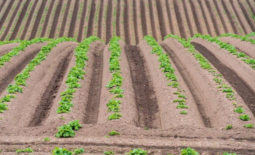 Гребневый метод высадки картофеля