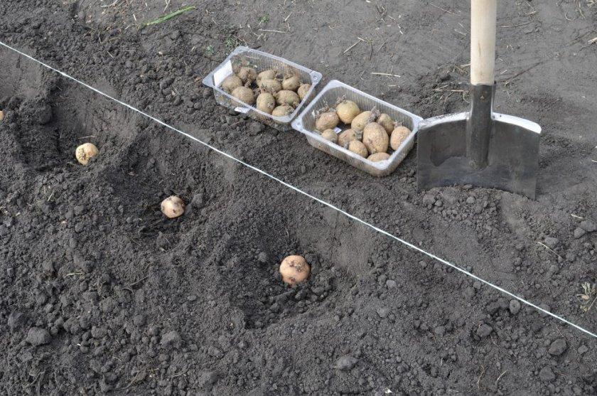 Гладкий метод высадки картофеля