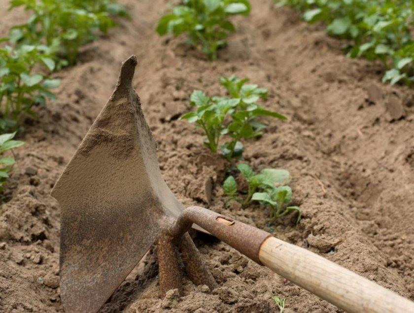 Прополка картофеля