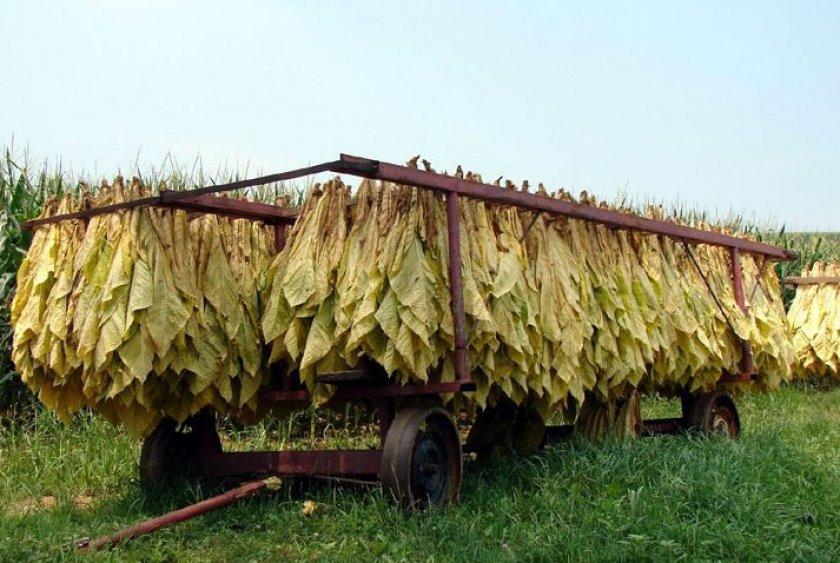 Cушка табачных листьев