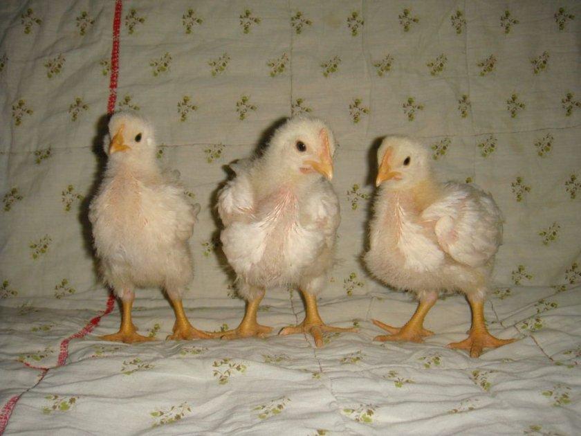 Уход за цыплятами и их кормление