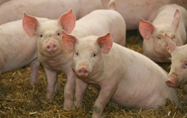 Бмвд для свиней