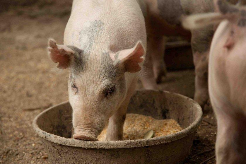 Преимущества и недостатки использования премиксов для откорма свиней