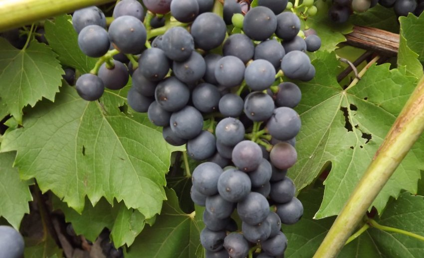 Виноград Чёрный жемчуг