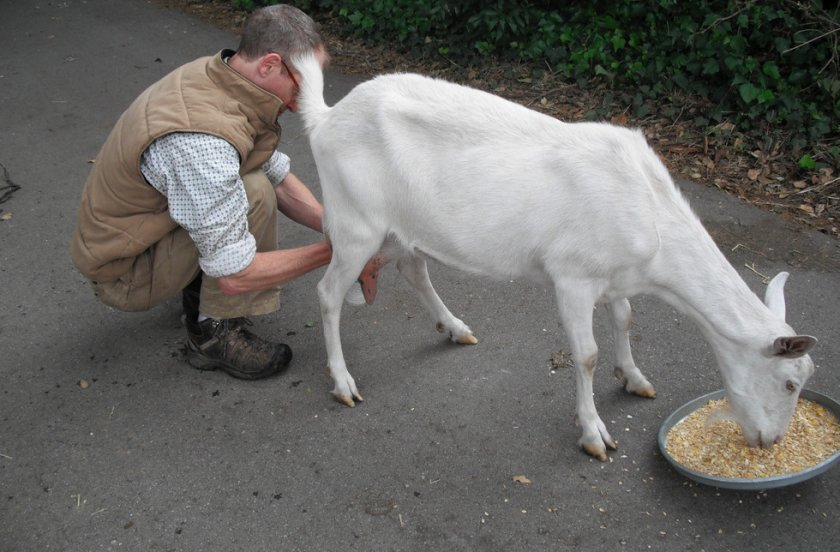 Ручное доение козы