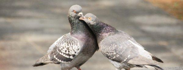 Вши у голубей: признаки появления, как избавиться от вредителей