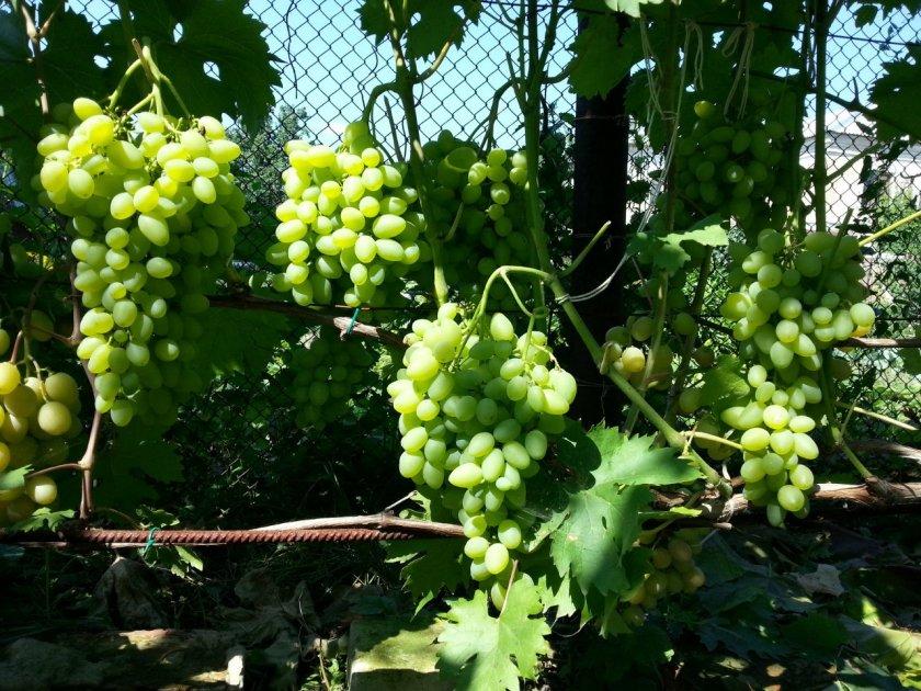 Виноград Баклановский