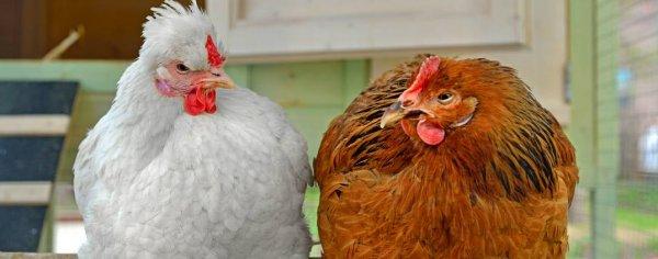 Сколько курица несет яиц в день, и как повысить показатели