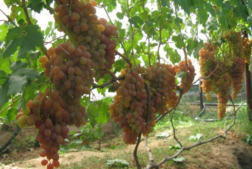 Выращивание винограда Хамелеон