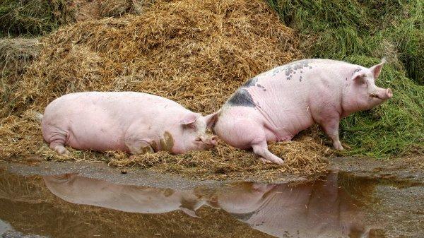 В каком возрасте покрывают свинью
