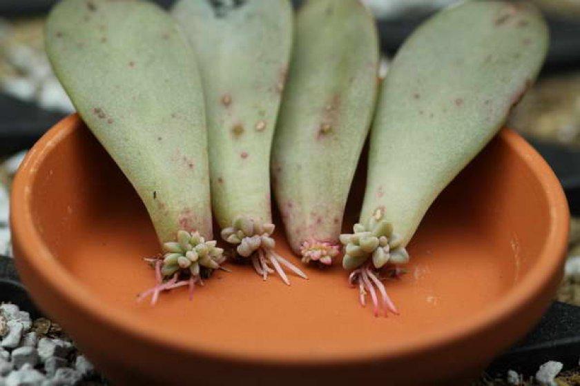 Граптопеталум размножение листовыми черенками