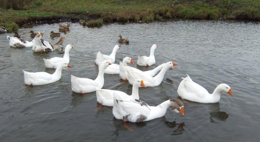 Линдовская порода гусей