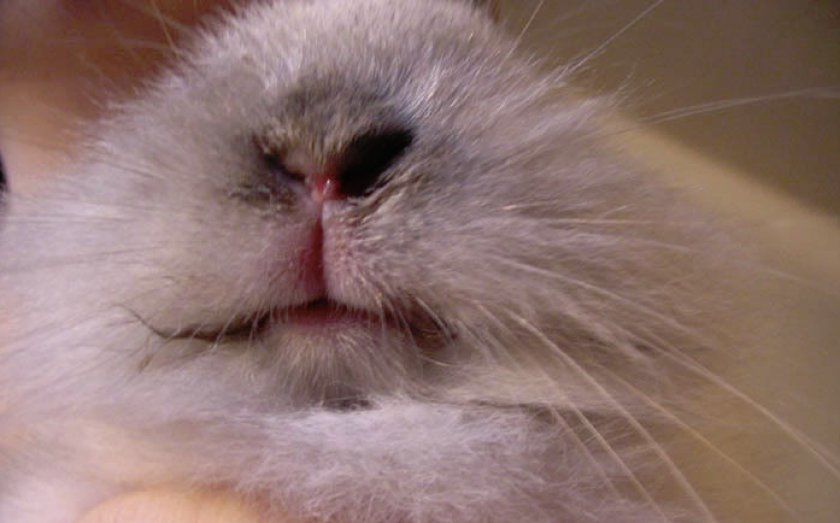 Стоматит у кролика