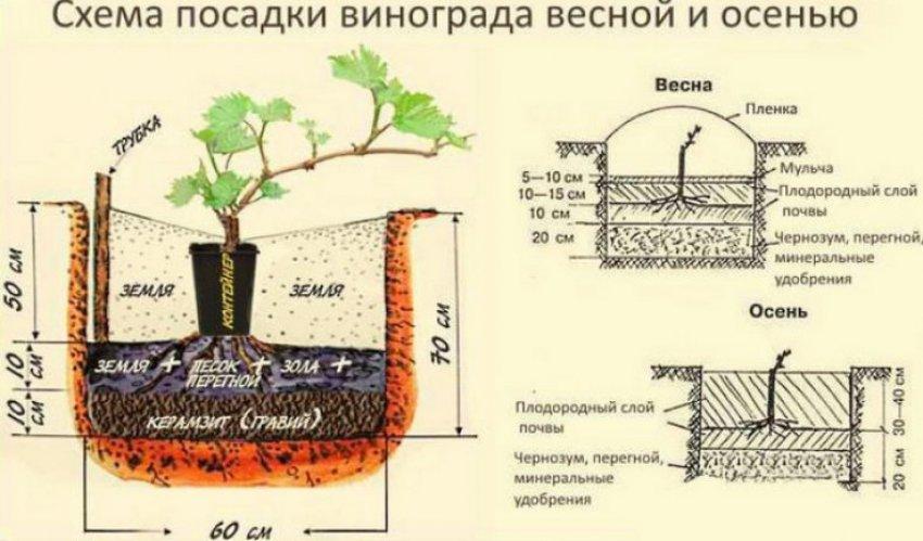 Технология посадки винограда