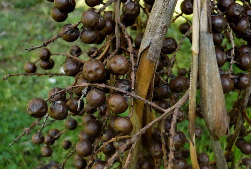 Семена брахеи