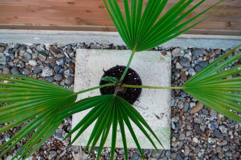 Пальма Брахея