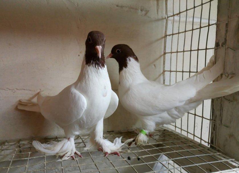 Иранские голуби