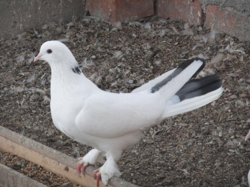 Тибризкие голуби