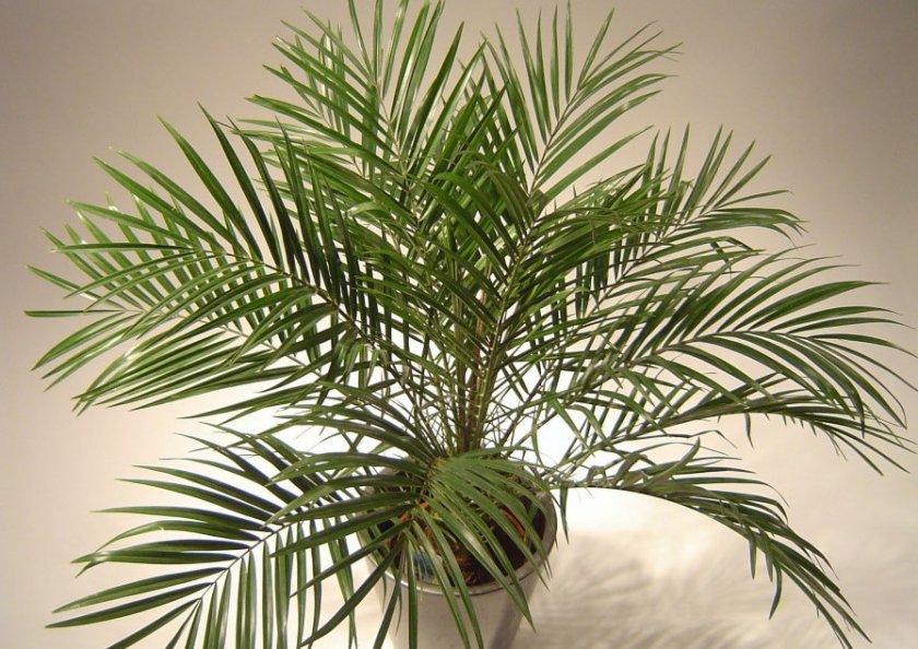 Условия выращивания пальмы Робелена