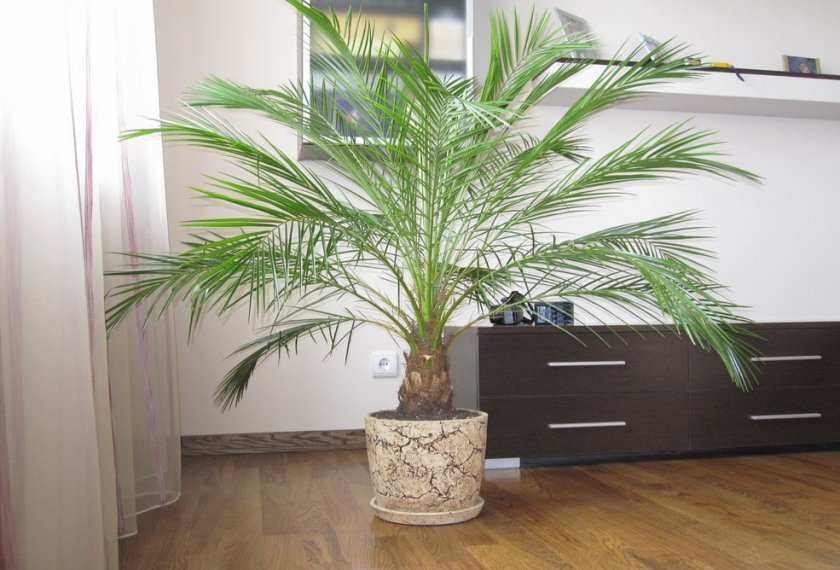 Уход за пальмой Робелена