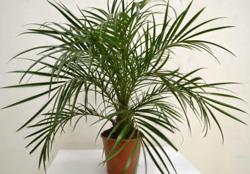 Финиковая пальма Робелени