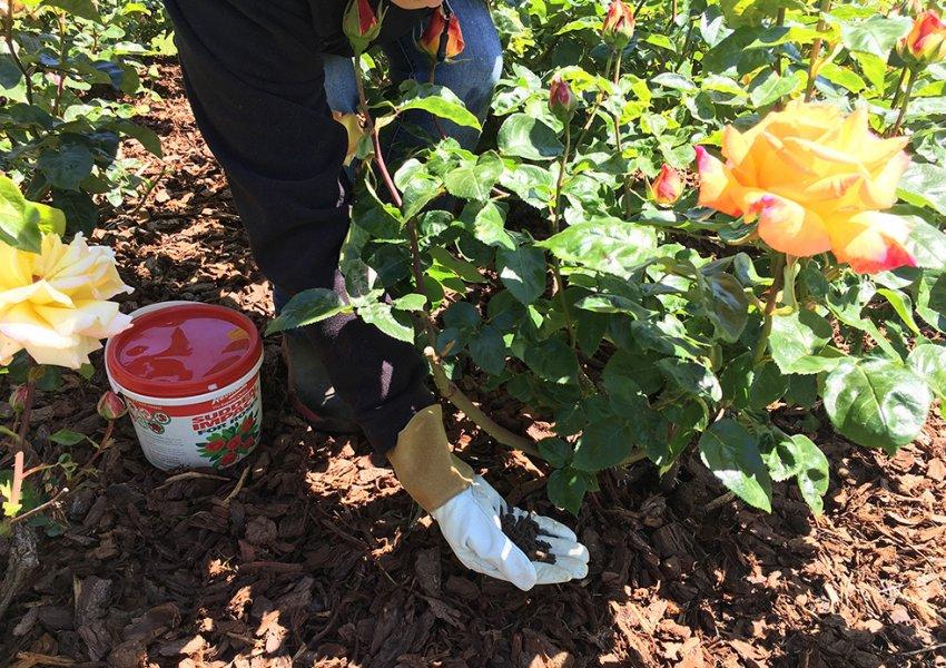 каким удобрением полить розы весной