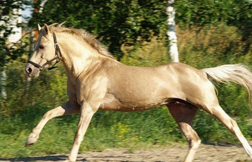 Лошадь Кински