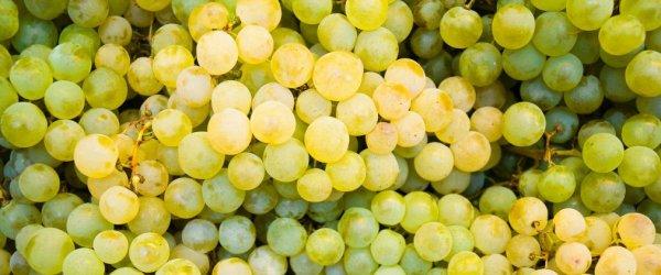 Достоинства сорта винограда Черный Кишмиш