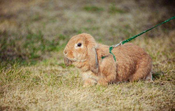 Как выбрать шлейку для для кролика
